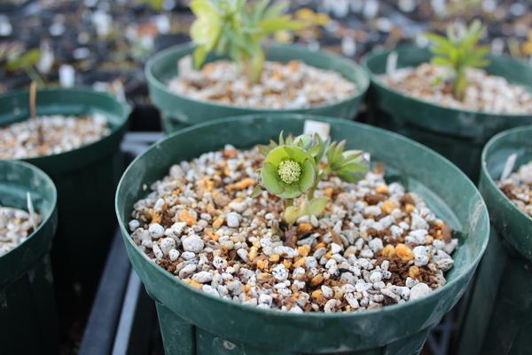 原種hybクリスマスローズ 3年前に入手した原種間交配torquatus Bosniaxdd-dumetorum