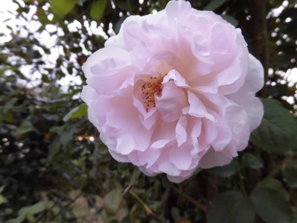 [ルドゥテ]Sイギリス デビットオースチン 1992年作出 名花メアリー・ローズの枝変わ