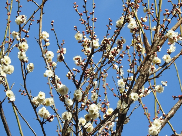 白梅 が 咲いています。  久しぶりに行った植物園は 天気が良かったので カメラを持っ