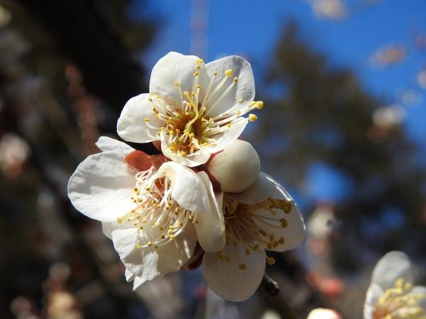 白梅 が咲いていました。