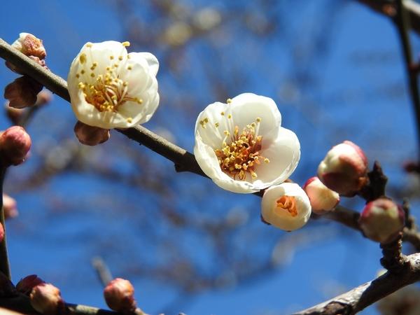 白梅 が 綺麗です。