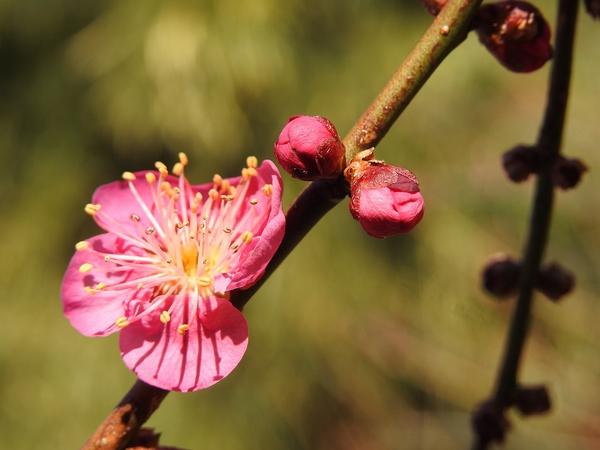 紅梅 も 咲きだしていました。