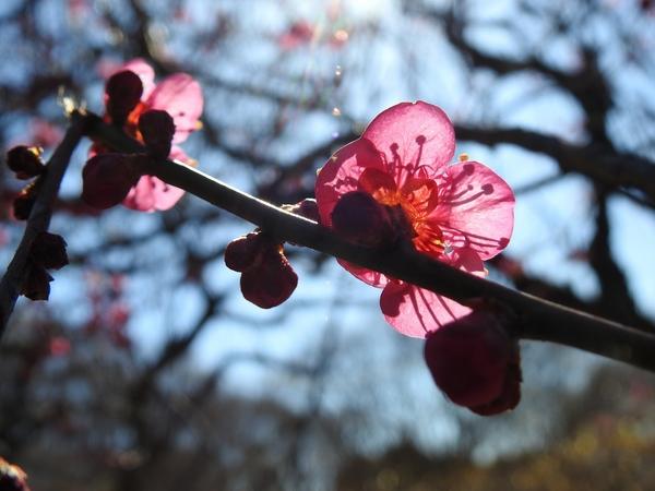 紅梅 も 咲いています。  逆光で撮りました。 光が強く 花弁に 蕊が透けてくっきり写