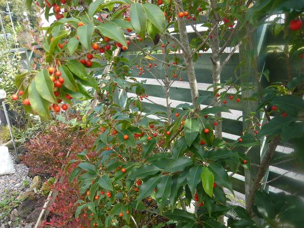ソヨゴの写真 by おまめ わ~っ!赤い実が沢山ついたよ! このままツリーにしようかな
