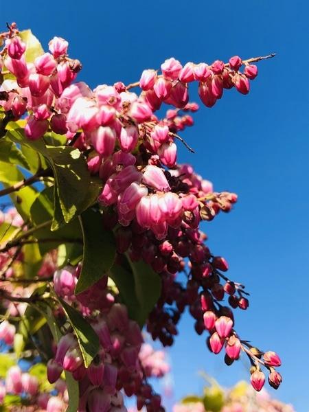 3/16 アセビ 一段と咲き進んできました‼︎  # Pieris japonica