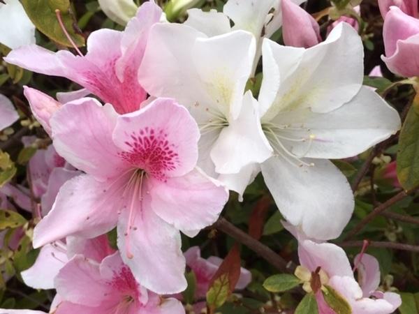 ヒラドツツジも少し咲いていました