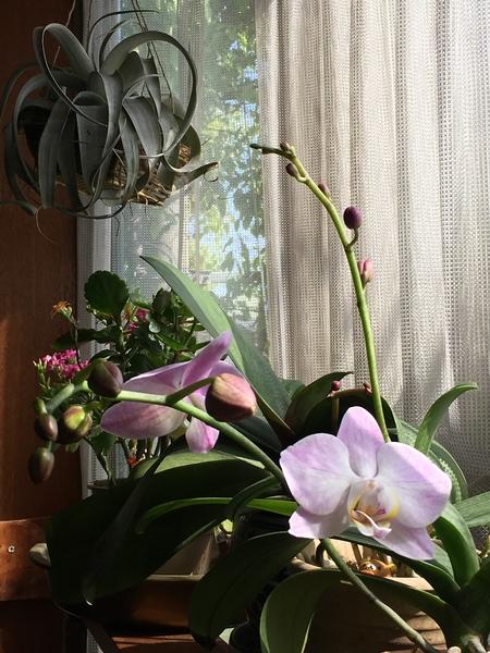 コチョウラン(胡蝶蘭)の写真 by milmil 胡蝶蘭2鉢目!1鉢目と同じお花でした。ち