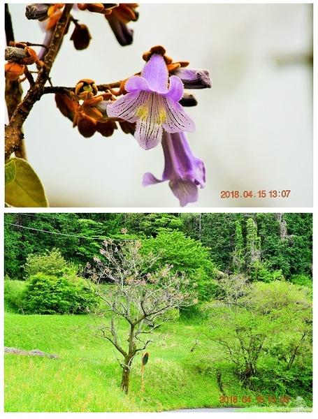 帰りのカーブミラーの桐の樹に可愛い薄紫の花が咲き始めていました。曇って一緒に富士