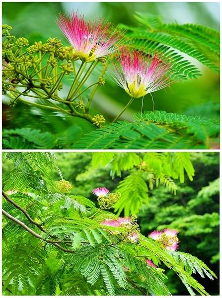 ネムノキの写真 by shonan 落ち込んで歩いていると マメ科『ネムノキ』に赤い派手な花
