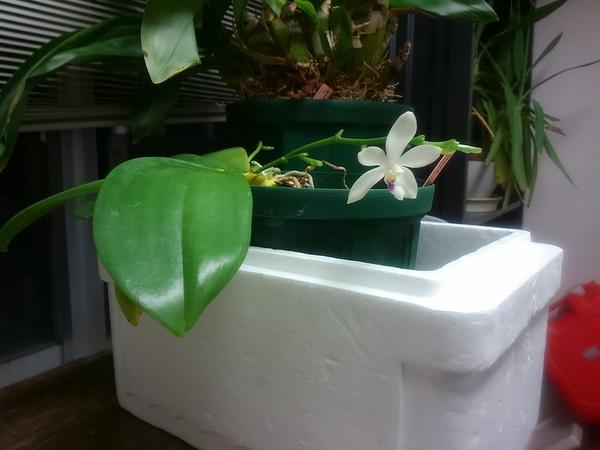 コチョウラン(胡蝶蘭)の写真 by ATPTTX 胡蝶蘭 テトラスピス C1花の枝で最初に咲く