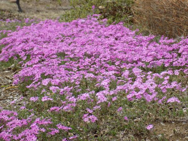 今年は2週間くらい早く芝桜が庭の片隅で満開になりました。 ピンク、白、赤、紫の花