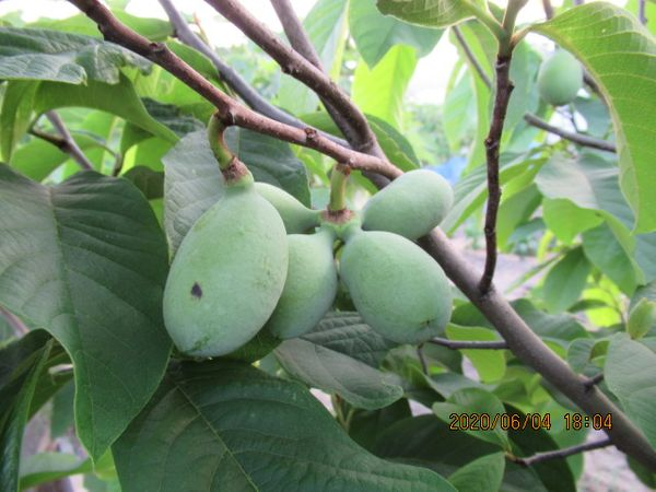 ポポーの写真 by カニ猫 ポポー(品種:NC-1)の幼果。 この品種も手のひら大の大きさに