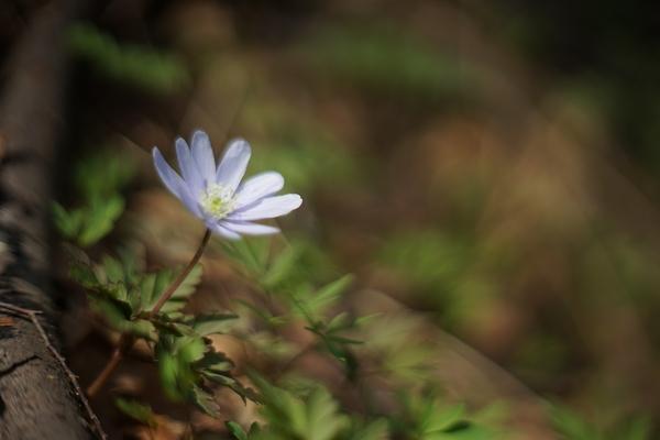 イチリンソウの写真 - みんなの趣味の園芸 id:589702