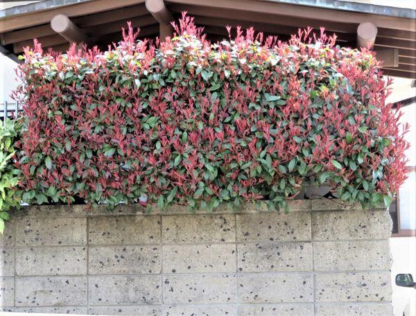 カナメモチの写真 by ロッキー 玄関先を隠しているカナメモチの葉っぱが色付いてきた