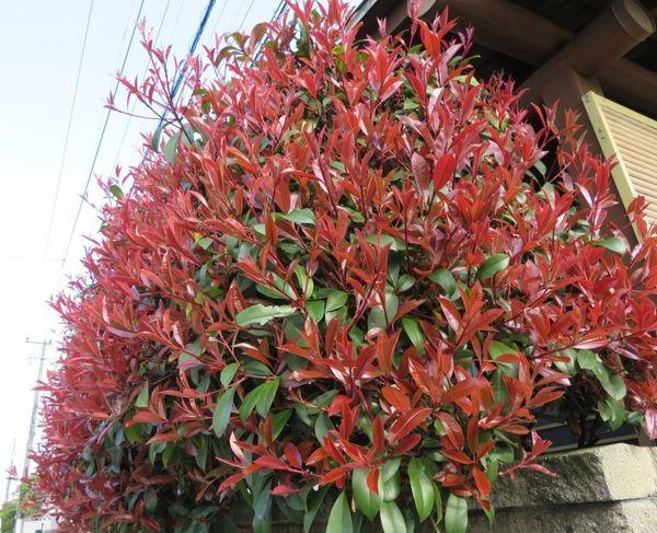 カナメモチの写真 by ロッキー 玄関先を隠している、カナメモチの葉っぱが色付いたの