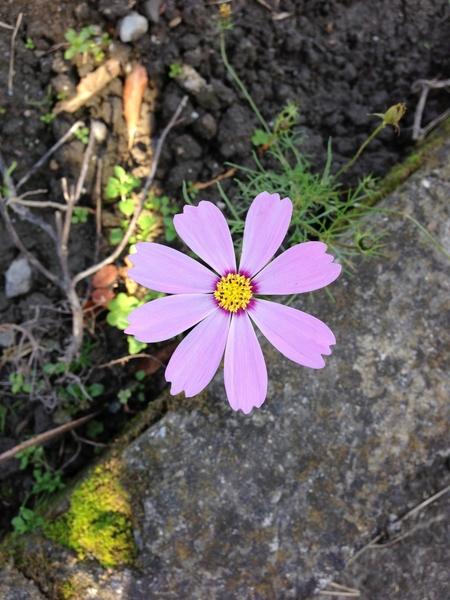 11月半ば、田んぼの脇にちょこっとだけ咲いていたコスモス☆