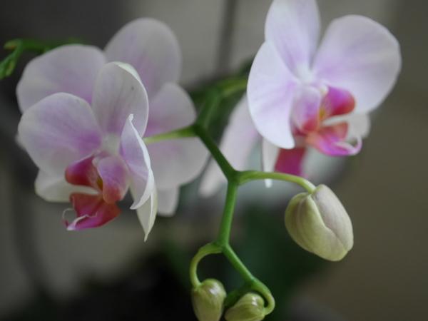 コチョウラン(胡蝶蘭)の写真 by パープルブーケ 1株に1本出れば 私的にはよしってこ