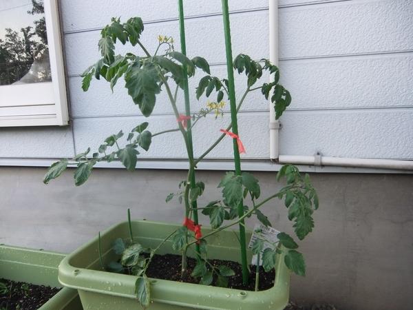 ミニ トマト 2 本 仕立て ミニトマトの育て方【2本仕立てで作ると効率がいい?脇芽かきと追肥や...