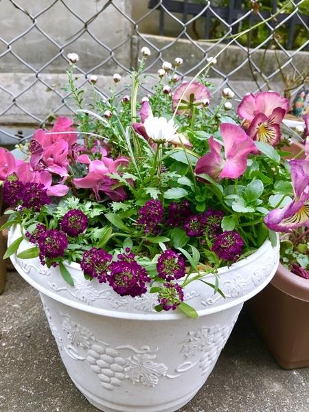 今日のお花は、ピンク色の寄せ植えです🌸
