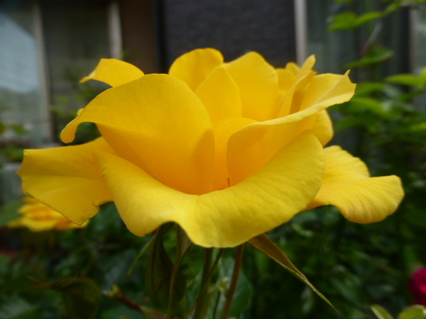 サプライズ。 何の変化もありません。 鮮やかな黄色です。