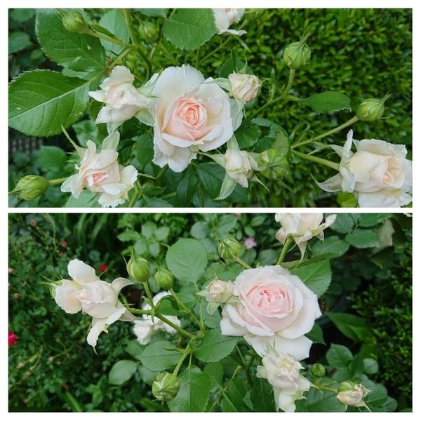 吉池貞蔵さん作出の「いわての春」が本格的に咲き始めました。
