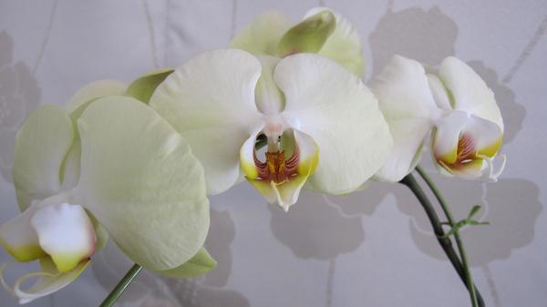 コチョウラン(胡蝶蘭)の写真 by ferny 胡蝶蘭 白花ちょっとグリーンが入っています