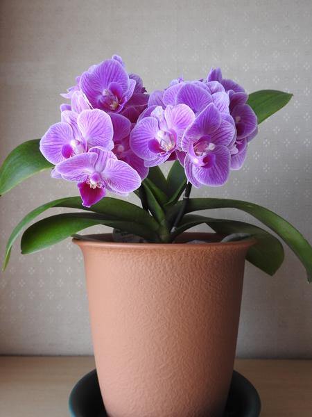 コチョウラン(胡蝶蘭)の写真 by あけマサ 2年目のミニコチョウラン。 何とか咲いて