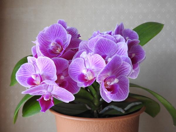 コチョウラン(胡蝶蘭)の写真 by あけマサ 花茎はとても短いけど、花はそれなりに付