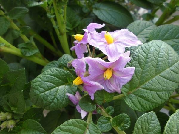 ジャガイモの花がさきました。種類は?です。