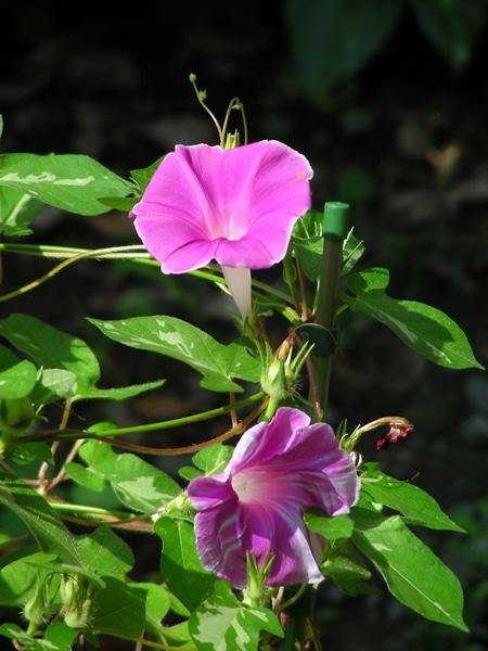 19/09/11の「実験アサガオ」。  前から感じていましたが、これも「咲き分け」?だった