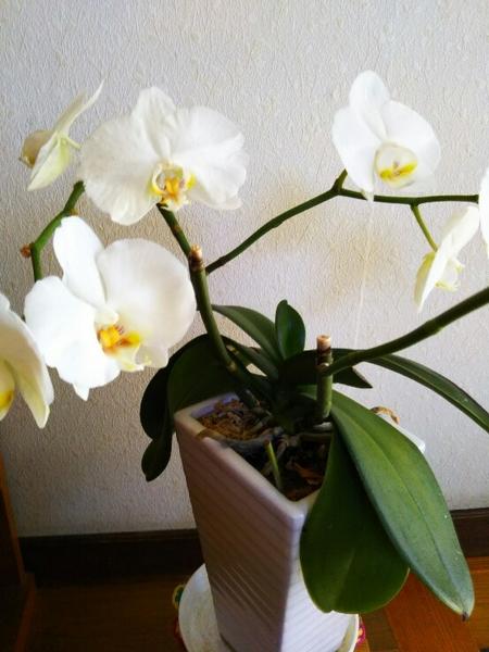コチョウラン(胡蝶蘭)の写真 by 紀恵ちゃん 今年も咲いてくれました。