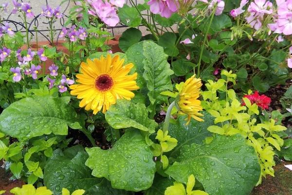 ガーベラの写真 by お庭でティータイム 花たちは雨が大好きですね  イキイキしてる(*&