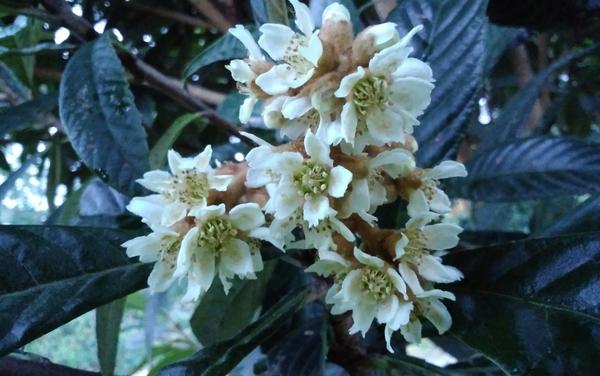 「ビワ」 バラ科  白い花が咲いています!