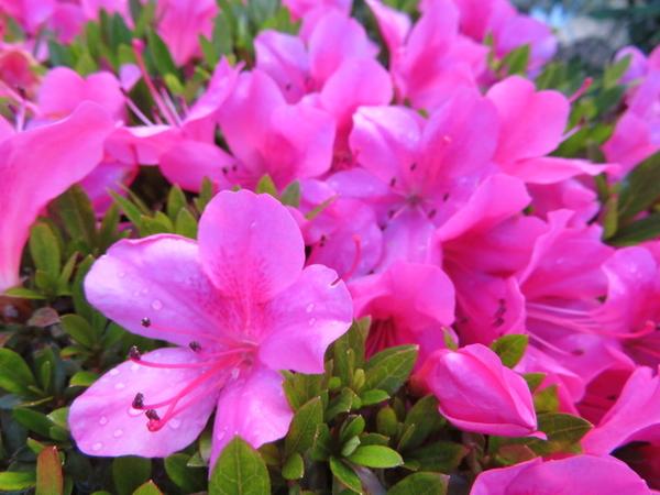 ピンクが鮮やかです。