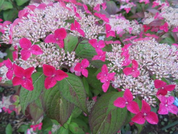 ヤマアジサイの写真 by muraちゃん ヤマアジサイ ピンク色の部分が二段になってるのも