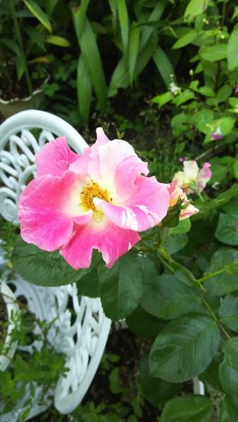 ツルバラのソアリングスピリッツ 花ビラの数は少ないけれど、白とピンクの複色でフレ
