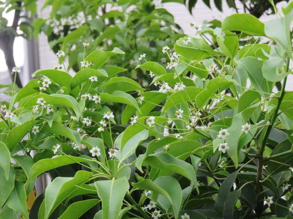 ソヨゴの写真 by ひるねぐま ソヨゴの花です。こんなにたくさん咲くのは初めてかも。