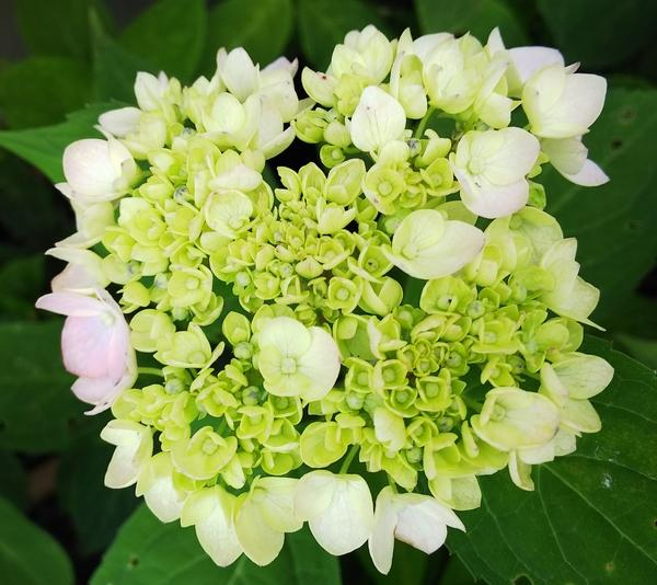 ヤマアジサイの写真 by jictenko 山紫陽花💠倉木テマリの遅咲き