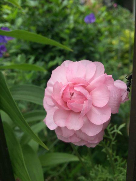 ラナンキュラスの写真 by おかわかめ 球根植えが遅れたラナンキュラス やっと咲きまし
