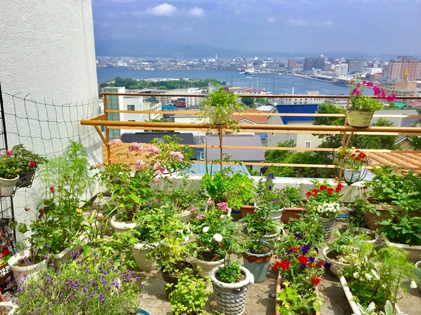 青空に緑の島のイベントのテントが遠くに見えます。今日は函館黒船祭り🚢 🌸花たちも元