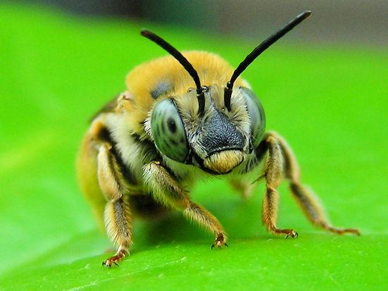 ゴブリンorドワーフ?  ハギに集まる蜂がハイビスカスの葉の上で休憩してました。「ア