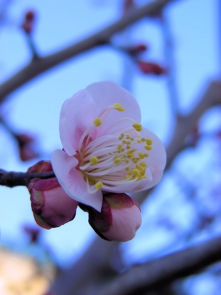 次々に咲き始めたウメたち♪(その4)  「鶯宿」も少しずつ開花していました。植物た