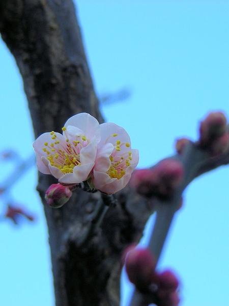 次々に咲き始めたウメたち♪(その5)  くっつきあって咲く「鶯宿」、何んともかわい