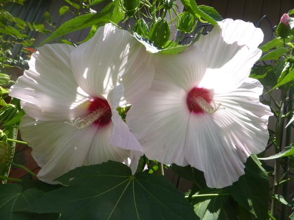 タイタンビカスピーチホワイト。 双子ちゃんかわいいです。