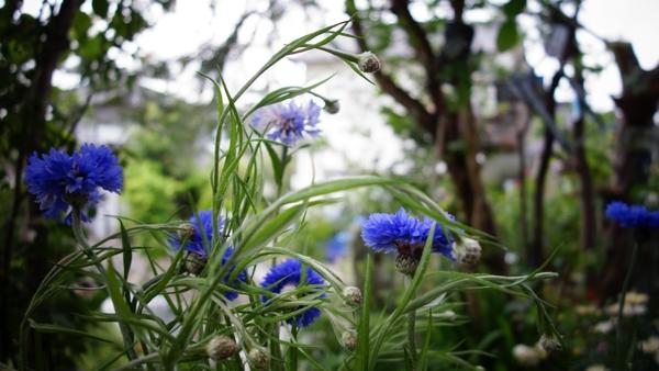 矢車草 本当に奇麗なコバルトブルーです。