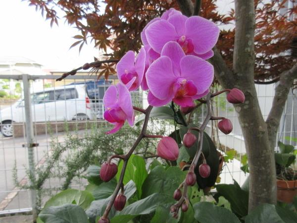 コチョウラン(胡蝶蘭)の写真 by はなの天使 楓の下がお気に入り。