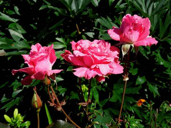 バラ(芳純)開花🌺・・コウリンタンポポ1輪🌼