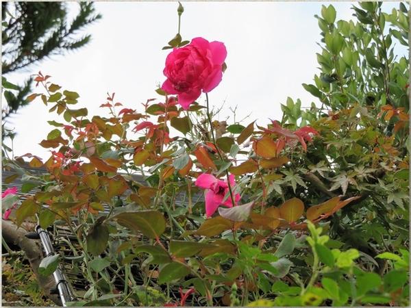 🌹アーチの上でたくさんの赤い若葉に囲まれているパレードの花...周りの樹木が紅葉する