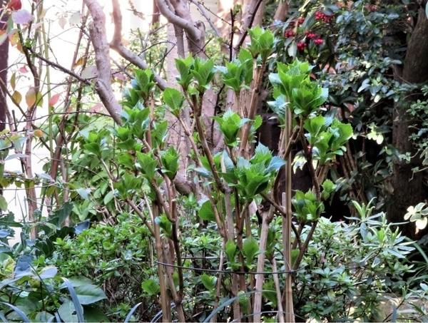 📷この場に植え替えたアジサイの若葉がたくさん出来だした...昨年は位置も悪くて花咲か