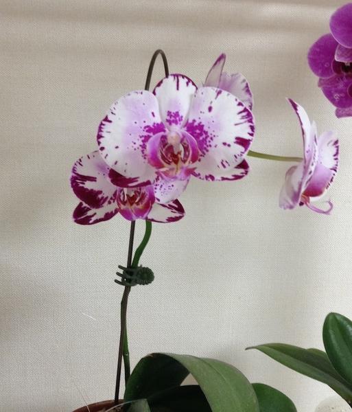 コチョウラン(胡蝶蘭)の写真 by ピンク猫 コチョウラン 5年くらい咲いてくれないの
